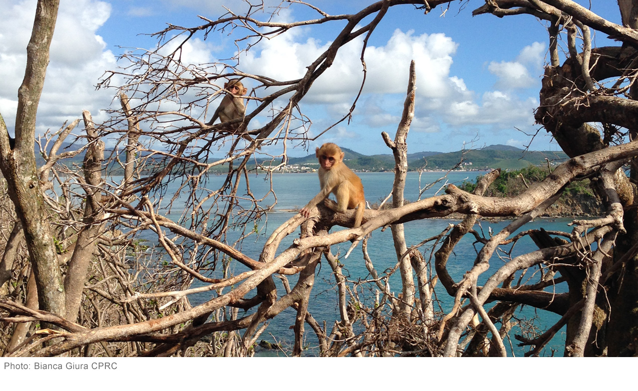 "Scientists Unite to Save ""Monkey Island"" After Hurricane Maria"